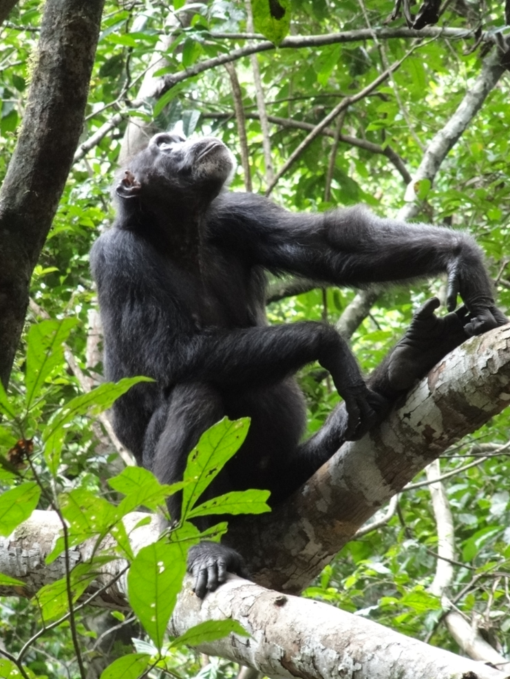 Chimpanzee inspecting a tree during a foraging trip on her own in the tropical rainforest of Tai National Park, Cote d'Ivoire. Picture: Karline Janmaat