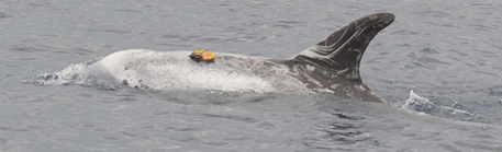 Risso's dolphin (Grampus griseus) off Terceira Island, Azores, equipped with a suction-cup attached digital sound and movement recording device (Dtag). Picture: MG Oudejans, Kelp Marine Research